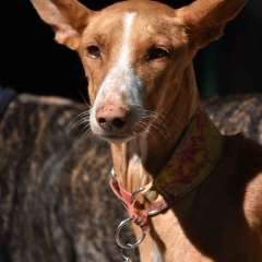 Our first Podenco Bilma